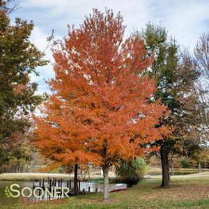 "Acer rubrum ""October Glory"" Thumbnail"