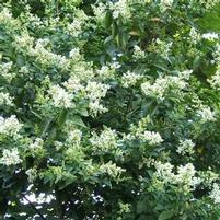 "Ligustrum ovalifolium ""Nantucket"" Thumbnail"