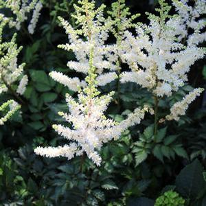 "Astilbe chinensis ""Visions in White"" Thumbnail"