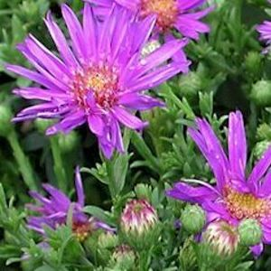 "Aster dumosus ""Wood's Purple"" Thumbnail"