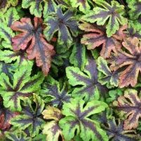 "Tiarella x ""Jeepers Creepers"" Thumbnail"
