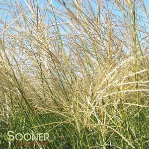 "Miscanthus sinensis ""NCMS1"" Thumbnail"