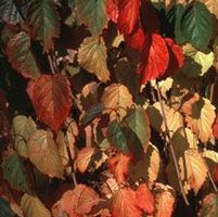 "Viburnum dentatum ""Autumn Jazz"" Thumbnail"