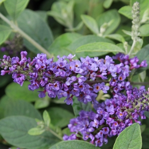 "Buddleia x ""Blue Chip Jr."" Thumbnail"