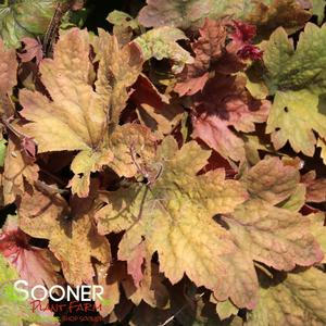 "Heucherella x ""Sweet Tea"" Thumbnail"