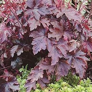 "Heucherella x ""Burnished Bronze"" Thumbnail"