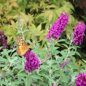 "Buddleia davidii ""Attraction"" Thumbnail"