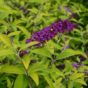 "Buddleia x ""Little Nugget"" Thumbnail"