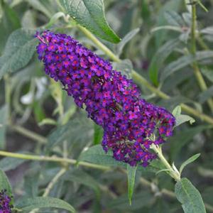 "Buddleia x ""Dark Dynasty"" Thumbnail"