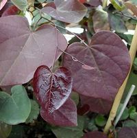"Cercis canadensis ""Forest Pansy"" Thumbnail"