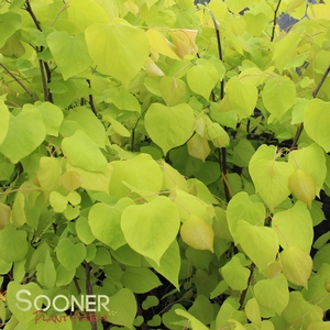 "Cercis canadensis ""Hearts of Gold"" Thumbnail"