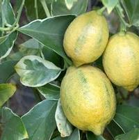 "Citrus limon ""Variegated Meyer"" Thumbnail"