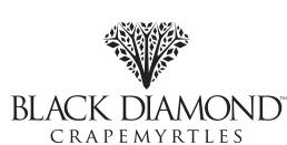 Black Diamond® Crapemyrtles