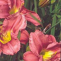 "Hemerocallis x ""Rosy Returns"" Thumbnail"