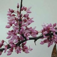 "Cercis canadensis ""Eastern Redbud"" Thumbnail"