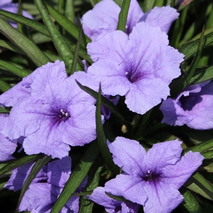 "Ruellia tweediana ""Katie Purple"" Thumbnail"
