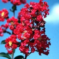 "Lagerstroemia indica ""Victor"" Thumbnail"