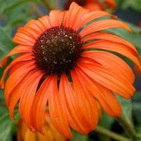 "Echinacea purpurea ""Tangerine Dream"" Thumbnail"