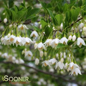 Styrax japonica Thumbnail