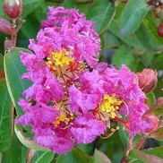 "Lagerstroemia indica ""Royalty"" Thumbnail"