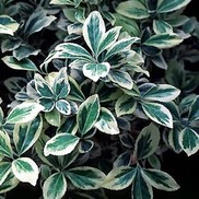 "Euonymus japonicus ""Silver King"" Thumbnail"