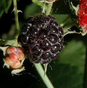 "Rubus idaeus ""Jewel Black"" Thumbnail"