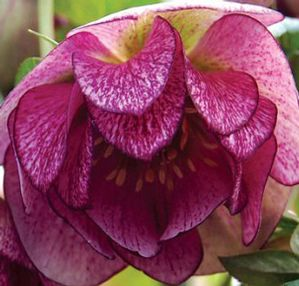 "Helleborus x ""Peppermint Ice"" Thumbnail"