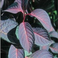 "Hydrangea macrophylla ""Lady in Red"" Thumbnail"