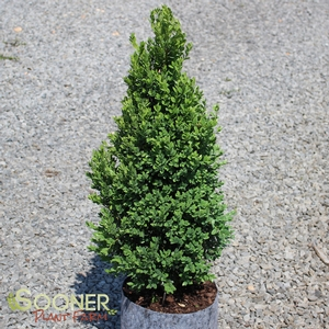 "Buxus x ""Green Mountain"" Thumbnail"