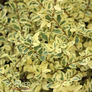 "Ligustrum sinensis ""Swift Creek"" Thumbnail"
