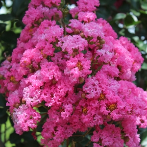 "Lagerstroemia indica ""Pink Velour"" Thumbnail"