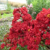 "Lagerstroemia indica ""Siren Red"" Thumbnail"