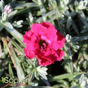 "Dianthus x ""Red Beauty"" Thumbnail"