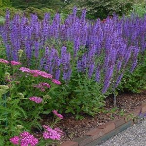 "Salvia nemerosa ""Blue Hill"" Thumbnail"