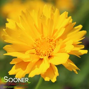 "Coreopsis grandiflora ""Early Sunrise"" Thumbnail"