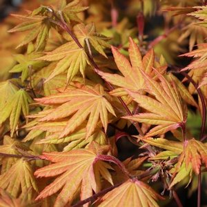 "Acer shirasawanum ""Autumn Moon"" Thumbnail"