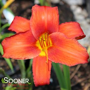 "Hemerocallis x ""Chicago Apache"" Thumbnail"