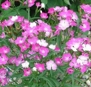 "Dianthus x ""First Love"" Thumbnail"