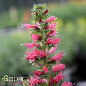 "Echium amoenum ""Red Feathers"" Thumbnail"