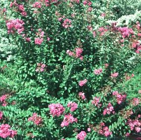 "Lagerstroemia indica ""Pink Ruffles"" Thumbnail"