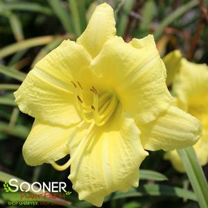 "Hemerocallis x ""Going Bananas"" Thumbnail"