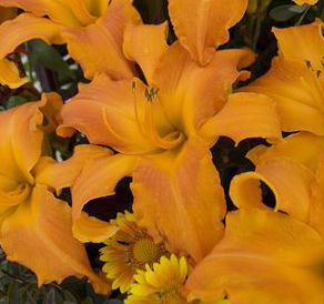 "Hemerocallis x ""Primal Scream"" Thumbnail"