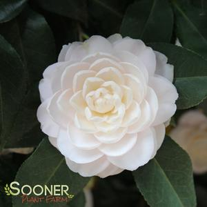 "Camellia japonica ""White by the Gate"" Thumbnail"