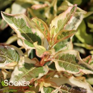 "Weigela florida ""Sunset"" Thumbnail"
