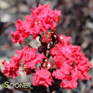 "Lagerstroemia x ""Crimson Red"" Thumbnail"