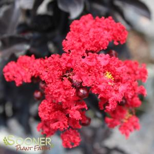 "Lagerstroemia x ""Red Hot"" Thumbnail"