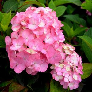 "Hydrangea macrophylla ""After Midnight"" Thumbnail"