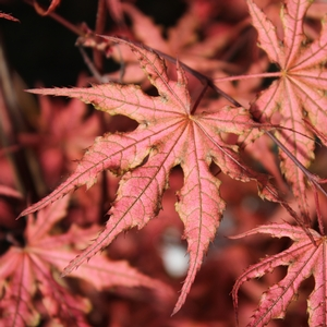 "Acer palmatum ""Olsen's Frosted Strawberry"" Thumbnail"