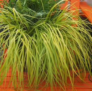 "Carex oshimensis ""Everillo"" Thumbnail"