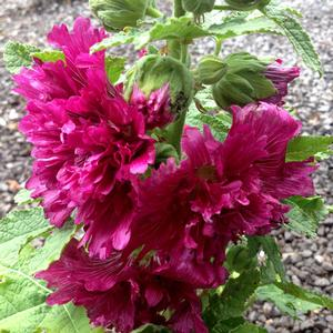 "Alcea rosea ""Queeny Purple"" Thumbnail"
